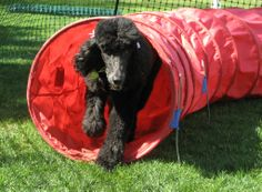 Darla though the tunnel at agility! <3