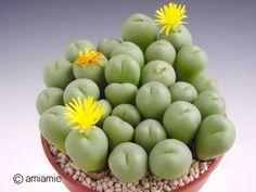 Conophytum tetracarpum テトラカルプム