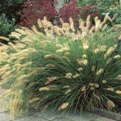 Pennisetum Hameln (Lampenpoetstersgras)
