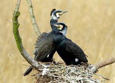 Aalscholver (Van vroegevogels)