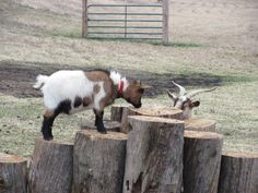 Be nice to the goats you pass on your way to the top, because the last thing you need is for them to headbutt you on your way back down. Sheep House, Big Dog House, Goat Playground, Goat Toys, Goat Pen, Longhorn Cow, Mini Cows, Goat Care, Ranch