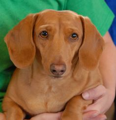 Darrick is wonderfully friendly and eager to tackle any adventure right at your side.  He is an exceptionally attractive Dachshund, about 7 years of age, a neutered boy, debuting for adoption today at Nevada SPCA (www.nevadaspca.org).  Darrick adores people and gets along well with dogs too.  Dachshund knowledge is preferred for his adoption.
