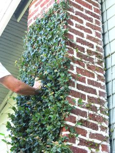 How to Trim Creeping Fig, Ficus pumilla. A great plant to add green to your home or garden, learn how to cover a wall with this vine and keep it in control.