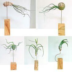 © La singular madera del olivo completa estas pequeñas y elegantes esculturas vivas de Tillandsias #mawmakeawish #arteverde #diseño #cosasbonitas #caracola #tillandsia #olivo #plantas #decoracion