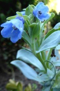 Graines de Mertensia maritima (Oysterleaf), une plante rare comestible au goût d'huitre