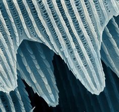 Coloured scanning electron micrograph (SEM) of scales on a butterfly (order Lepidoptera) wing.