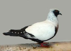 Pigeon Mad   Guide to Fancy Pigeon Breeds