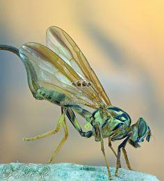 Toxotrypana curvicauda Gerstaecker (Insecta: Diptera: Tephritidae).