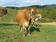 The History of the (Mini) Jersey Cow