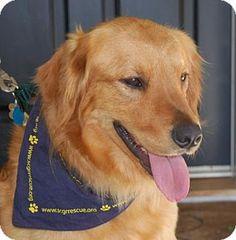 Los Angeles, CA - Golden Retriever. Meet T-Rex, a dog for adoption. http://www.adoptapet.com/pet/13454684-los-angeles-california-golden-retriever
