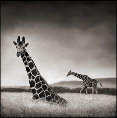 Le photographe anglais Nick Brandt a parcourut l'Afrique pour produire une trilogie de livres sur les animaux sauvages, contrairement à la photographie de nature classique, il travaille en noir et blanc avec un moyen format et sans utiliser de téléobjectif puissant ce qui l'oblige à s'approcher des animaux. Plus d'images sur son site et …