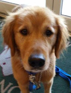 This is Lancelot - 5 yrs. He was picked up as a stray. He is neutered, current on vaccinations, potty trained, rides well in a car, walks well on leash. He is heart-worm positive and undergoing treatment.  Adopt A Golden Atlanta, GA. - http://www.adoptagoldenatlanta.com/orphans_detail1.asp?id=3229&frame=1