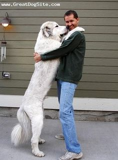 Great Pyrenees 2 years Giant Dogs, Big Dogs, Dogs And Puppies, Top Dog Breeds, French Dogs, Great Pyrenees Dog, Dog Id, Losing A Dog, White Dogs
