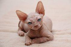 Sphynx kitten Hairless Cats, Sphynx, Kittens Cutest, Cats And Kittens, Bambino Cat, Sphinx Cat, Cornish Rex, Devon Rex, Mama Cat