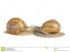 botanische illustration weinbergschnecke - Google Search
