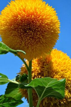 Flower Garden Teddy Bear Sunflowers - A Cuddly Giant Flower - - Teddy Bear sunflowers are a plant that children will love. It has cuddly-looking, inch yellow flowers and is quite different from the normal sunflower. Giant Flowers, Yellow Flowers, Pretty Flowers, Yellow Sunflower, Sunflower Seeds, Sunflower Flower, Exotic Flowers, Giant Sunflower, Sunflower Garden