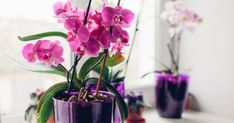 With Mother's Day fast approaching, houseplants make great gifts! Orchid Roots, Moth Orchid, Orchid Plants, Types Of Orchids, Growing Orchids, Dendrobium Orchids, Peat Moss, Orchidaceae, Medicinal Plants