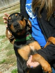 rosa is an adoptable Hound Dog in Muncie, IN. ARF's adoption hours are Tues, Wed, and Thur 1-5pm & Sat Noon-3pm. We can hold animals for out-of-town visitors with an approved application, so if you ar...