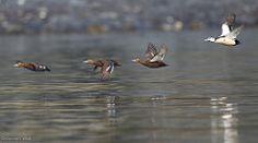 Polysticta stelleri - Avibase