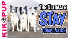 Teach your dog to STAY - The ULTIMATE STAY compilation Agility Training, Dog Training Videos, Rabbit Information, Dog Hacks, I Love Dogs, Puppies, Teaching, Dog Trick, Cute