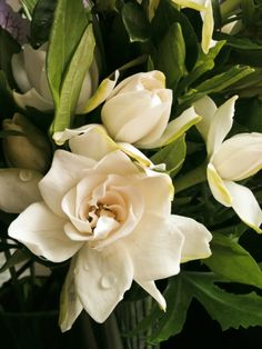 Gardenia jasminoides....love the smell of this gorgeous flower.  I chose white gardenias and deep pink roses for my bridal bouquet many years ago.