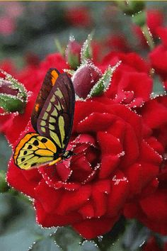 The perfect Red Roses Butterfly Animated GIF for your conversation. Discover and Share the best GIFs on Tenor. Images Gif, Gif Pictures, Beautiful Gif, Beautiful Pictures, Beautiful Butterflies, Beautiful Flowers, Fest Des Fastenbrechens, Vogel Gif, Rosas Gif