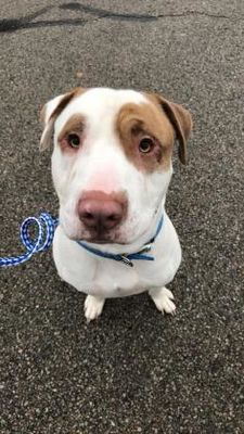 Pictures of Solo a American Pit Bull Terrier for adoption in Lowell, IN who needs a loving home.