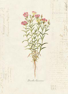 Vintage Botanical Flower Dianthus Causasicus on by OrangeTail