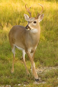 Key Deer | Big Pine Key, Florida | Endangered Species Photography