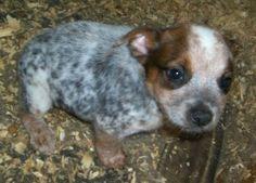 blue heeler puppies oregon