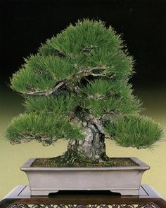 Radiantly healthy, well-fed Japanese black pine