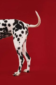 Dalmatian - Perdy had a curly tail when she was younger. Love it and miss it.