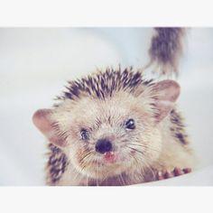 Hedgehog  pets in frames photography  #facebookpage