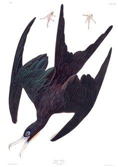 """Frigate Bird - John James Audubon"" Art Prints by billythekidtees | Redbubble"