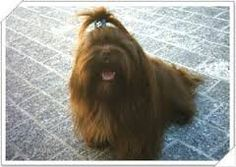 Resultado de imagem para lhasa preto Pet Breeds, Lhasa Apso, Puppies, Pets, Animals, Cubs, Animales, Animaux, Animal