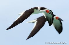 Black Skimmer, photographed by Rich Lindie in Mexico-Media Tweets by Rockjumper Birding (@RockjumperTours) | Twitter