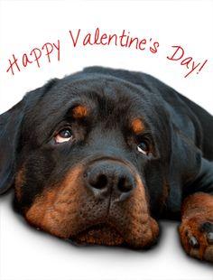 valentine's day rottweiler | Festus vom Hause Mitroi: Happy Valentine's Day