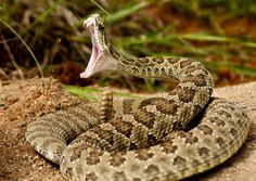 The Rattlesnake is one of the most iconic snakes in the world thanks to its appearance in pop culture along with the signature rattling tail. The Rattlesnake is technically part of the Pit Viper genus, but they seem to stand out all on their own. Rattlesnake Bites, Texas Rattlesnake, Snake Photos, Poisonous Snakes, Poisonous Animals, Snake Venom, Beautiful Snakes, Tier Fotos, Reptiles And Amphibians