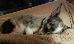 Blue Merle Chihuahua, Dogs, Animals, Cha Cha, Pet Dogs, Animales, Animaux, Doggies, Animal