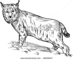 vector hand sketch drawing illustration of a Eurasian lynx done in black and white #lynx #sketch #illustration