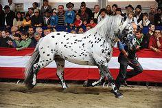 Noriker stallion Glück Elmar XIII