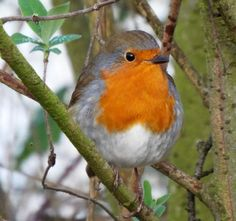 Robin Tattoo, Wrens, Robin Bird, Art Pictures, Photos, Robins, Little Red, Animals And Pets, My Friend