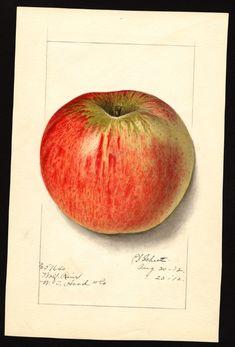 Schutt, Ellen Isham, 1873-1955 Malus domestica apple Wolf River, Richmond, Virginia, United States, 1912