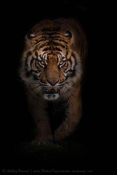 Sumatran Tiger, World Heritage Foundation (WHF), Kent, UK http://amazinganimalstories.com/1490/big-cats-amazing-shots-by-ashley-vincent/