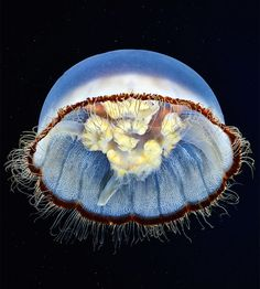 http://www.fubiz.net/2015/01/06/impressive-jellyfish-photography/ ~ETS #jellyfish #underwaterphotography #seacreatures