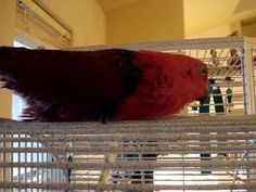Handicapped Eclectus Gracie Scooting