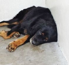 Shepherd's tragic look of despair: Shelter pooch's last chance to find a home! PLEASE CLICK ON PIC FOR ADDITIONAL INFORMATION ABOUT THIS FURRY BABY♥♥♥
