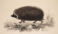 South African hedgehog by illustrator Gerald Ford. From Andrew Smith's 1849, Illustrations of the Zoology of South Africa…