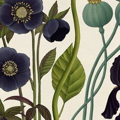 Night Coaster and Opium Poppy #helleborus  #papaversomniferum #botanicalillustration by katiekatiescott