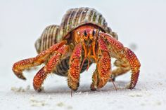 """""""Hermit Crab"""" by John Dickens Gorgeous!! Those eyes are so cute!!."""